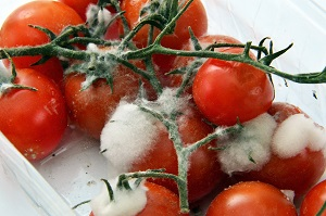 how to store tomatoes - gone bad