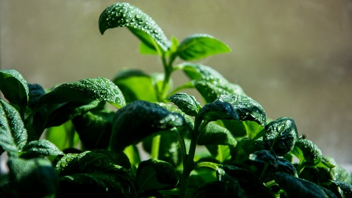 how to store basil - freeze