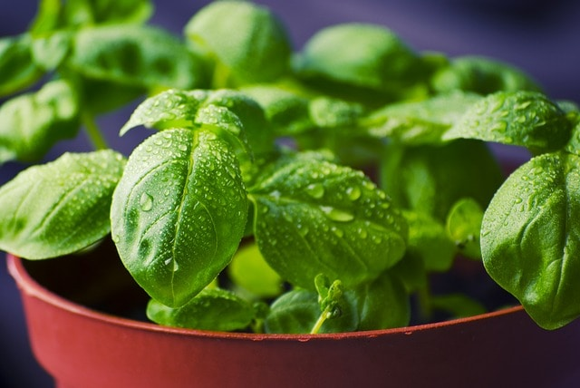 how to store basil - fresh